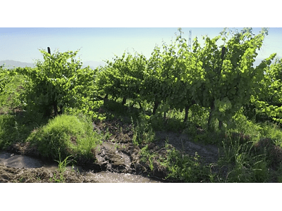 aerial video Rancagua grape 04