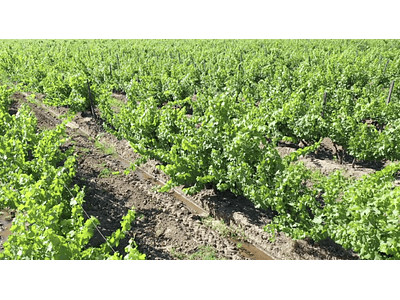 aerial video Rancagua grape 03