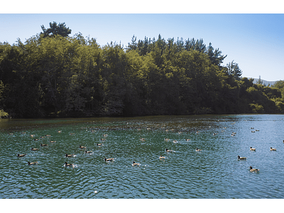 Photo ducks in the water - Maule_0518
