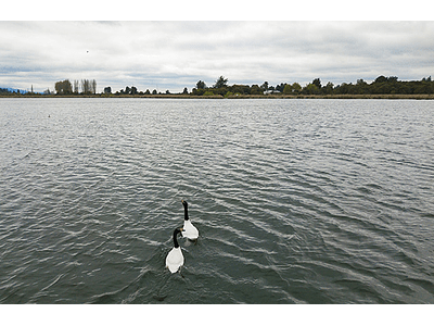 Photo black collar swans3