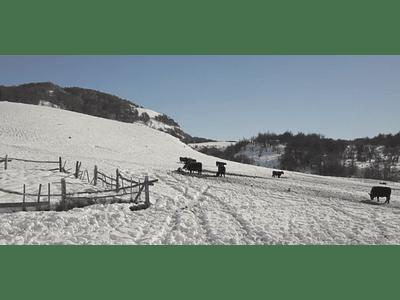 Aerial Video Aysen Winter # 01 (animals)