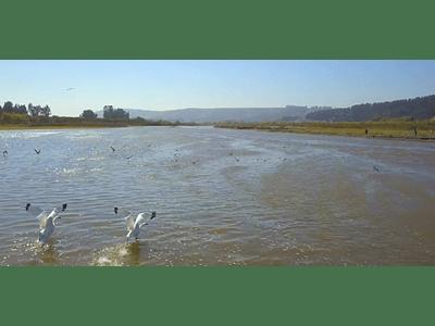 Video Seagulls in Rio Maipo # 06 (seagulls in the Maipo river)