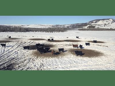 Aerial Video Aysén Winter # 24 (bovine in cold)