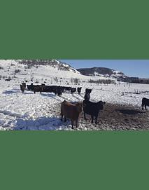 Video Aereo Aysén Invierno #25 (vacunos en la nieve)