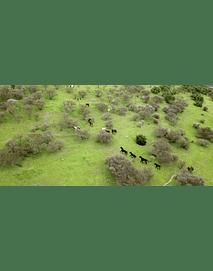 Video Manada Caballos Región del Maule #01