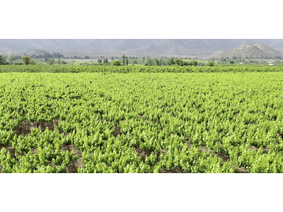 Video Vineyards of the Andes # 04