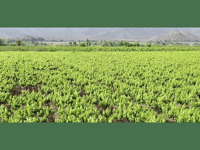 Video Viñedos de los Andes #04