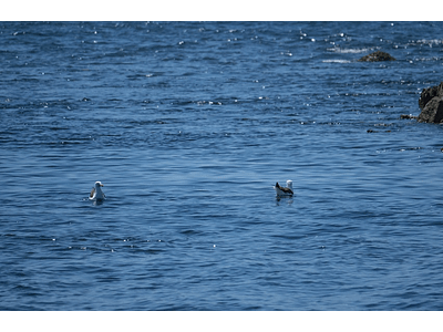 Photo seagulls swimming 0