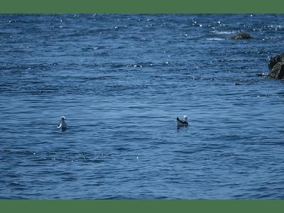 Foto gaviotas nadando 0