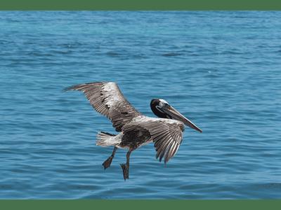Foto pelicano amarizando 01
