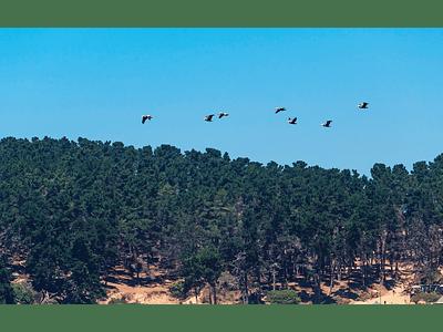 Foto pelicanos volando 01