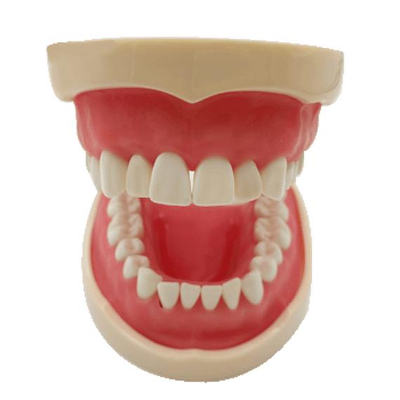 Modelo Maxilar pediátrico