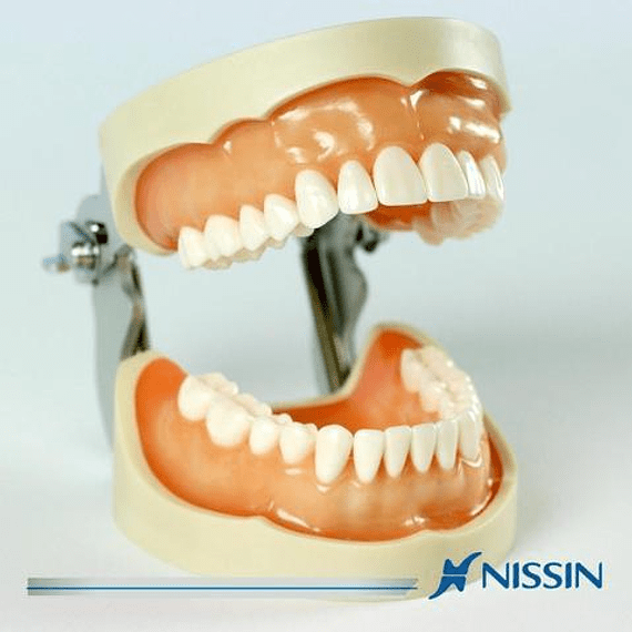 Modelo Maxilar operatorio 28 dientes. Ref.PRO2002-UL-SP-FEM-28