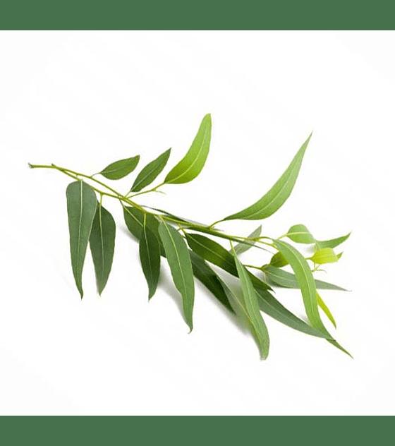Óleo Essencial de Eucalipto Limão - 15 ml