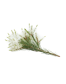 Óleo Essencial de Melaleuca (Tea-Tree) - 15 ml
