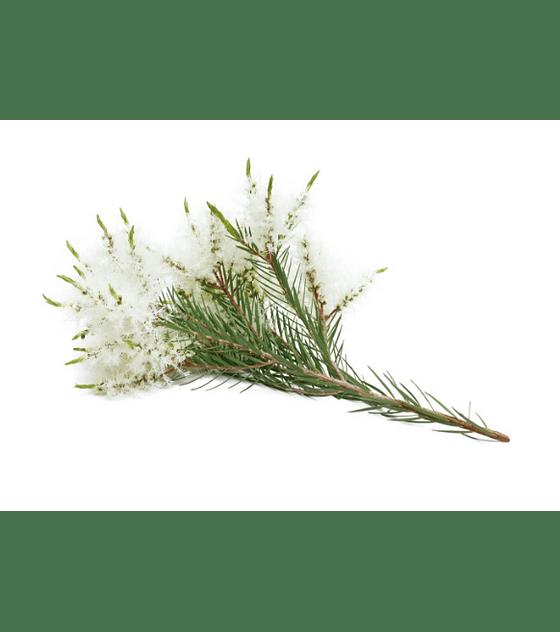 Óleo Essencial de Melaleuca / Tea Tree - 15 ml