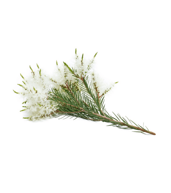 Óleo Essencial Melaleuca (Tea-Tree) Touch Roll-On - 10 ml