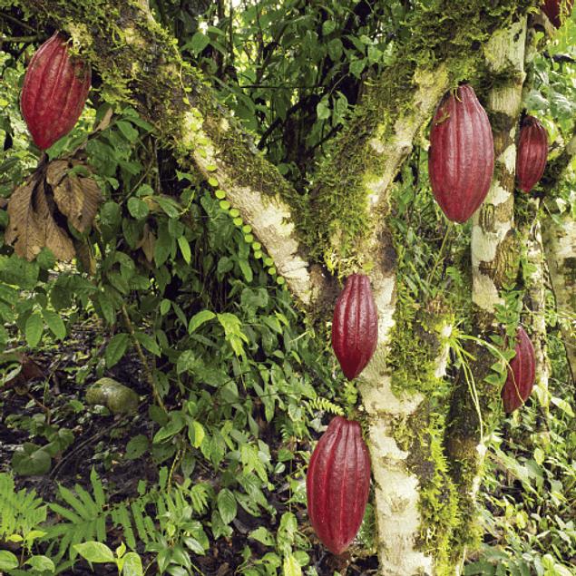 Cacao Nibs 200 g 100% Orgánico