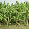 VeggiMilk Banana 600g