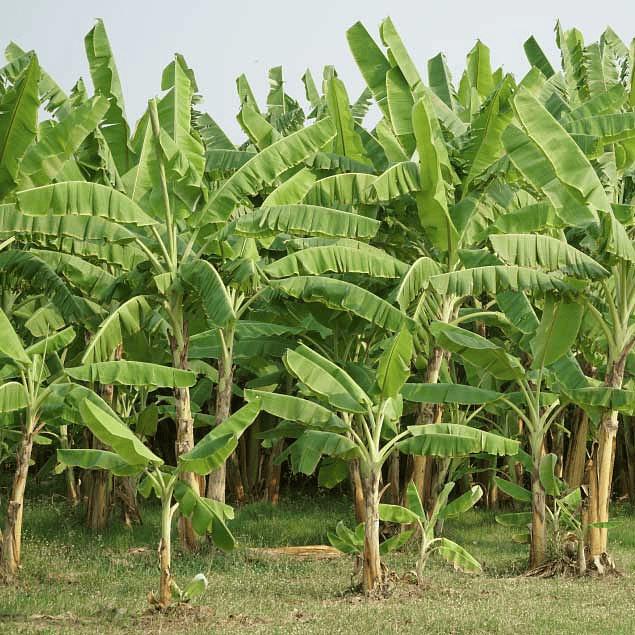 VeggiMilk Banana 600 g