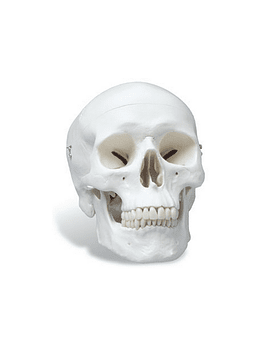 Anatomically Correct Skull Model