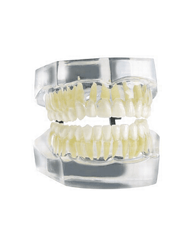 Clear Model With 32 Teeth and Roots