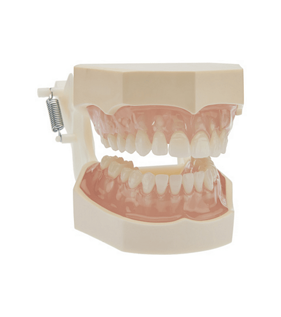Transparent Soft Tissue Model With Removable Teeth