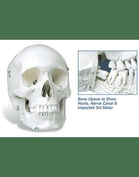 Extractable Teeth Skull Model