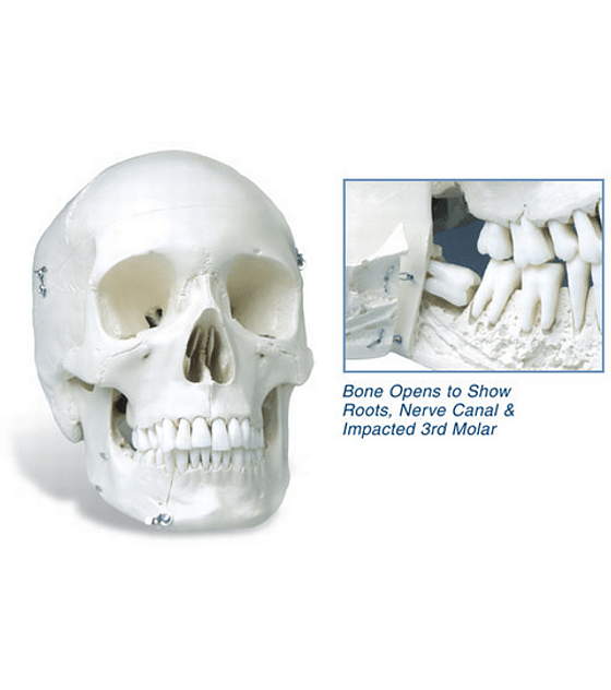 Extractable Teeth Skull Model