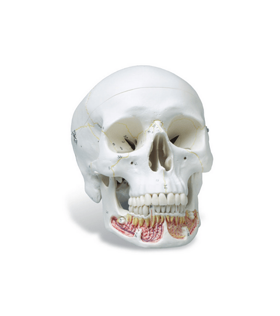 Skull Model With Opened Lower Jaw