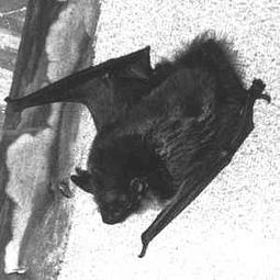 The True Werwolf-Vampyr Strigoi & Rituals (aCd)