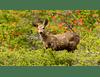 Príncipe del bosque Torres del Paine