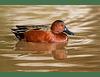 Pato colorado