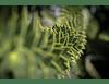 Detalle Araucaria I