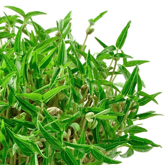 Semilla de Frijol Mung (40gr) - Image 3