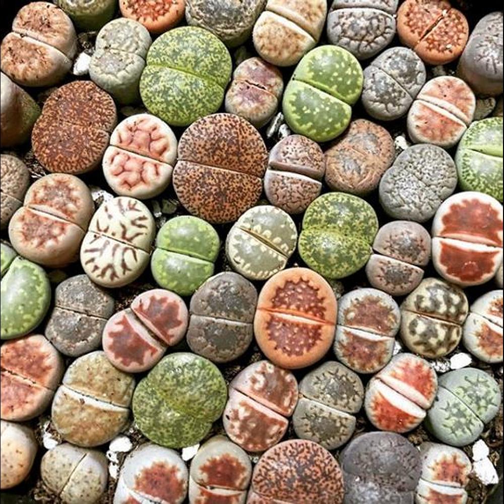 Kit de cultivos - Lithops mix ( planta piedra )