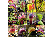 Dionaea muscipula Mix - Semillas