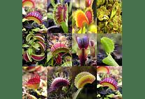Dionaea muscipula - Mix - Semillas