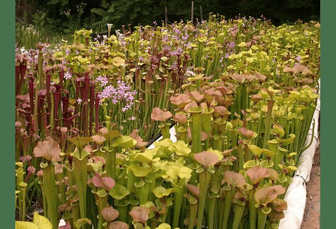 Sarracenias Mix - Semillas