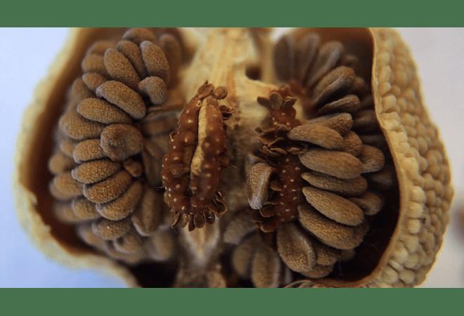 Sarracenias - Mix - Semillas