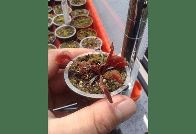 Dionaea Muscipula - Red Sawtooth