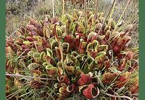 Sarracenia Purpurea ssp purpurea- Semillas