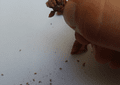 Sarracenia - Purpurea ssp purpurea- Semillas