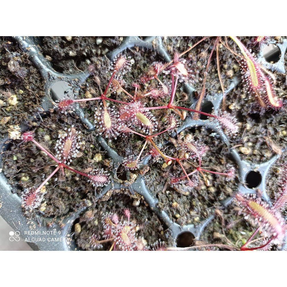 """10 droseras - capensis """"All red"""""""