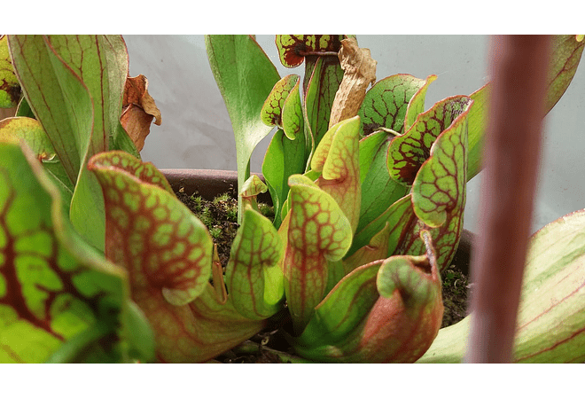 Sarracenia - purpurea juvenil