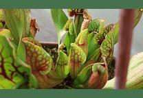Kit de cultivo - Sarracenia Purpurea ssp Purpurea