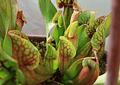 Kit de cultivo Sarracenia Purpurea ssp purpurea