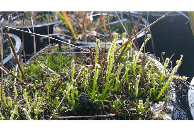 Kit de Cultivo - Drosera Filiformis
