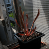 Drosera Capensis - All Red
