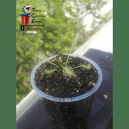Drosera - Capensis Alba